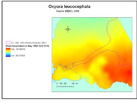 oxyura_leucocephala_t50s_v1.jpg
