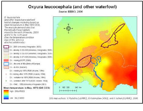 oxyura_leucocephala_t70s_v1.jpg
