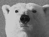 Polar Bear (U.maritimus): Habitat Changes Modelling