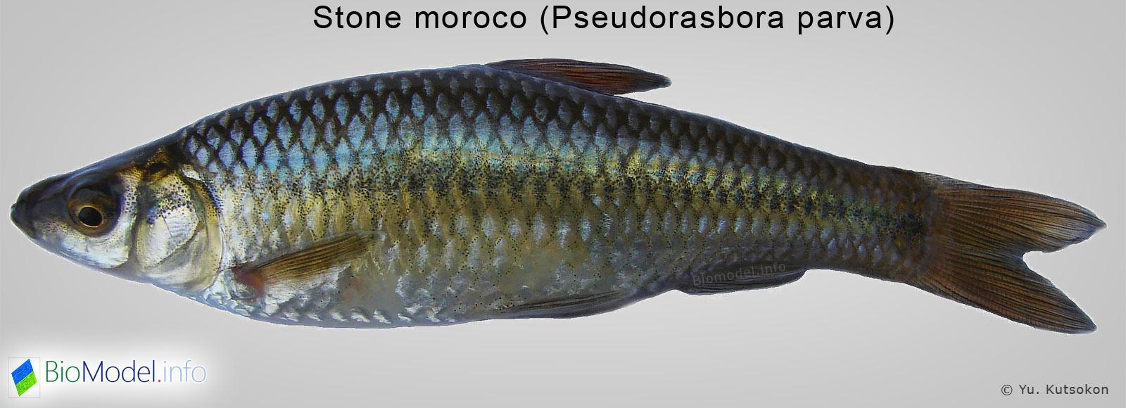 чебачок амурский - Pseudorasbora parva