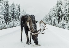 European Elk is predicted to disappear from Ukraine to 2050 due to human impact